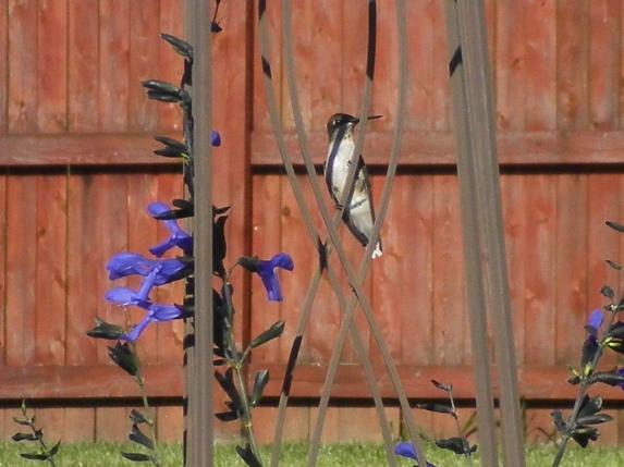Hummingbird with attitude
