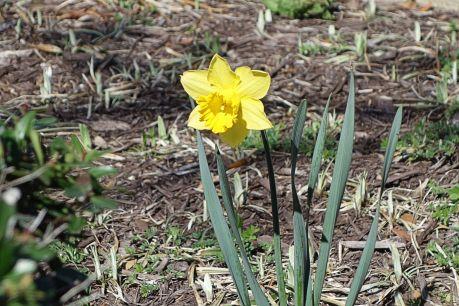 2016-03 - 72 - Daffodil