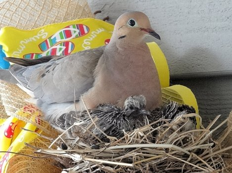 2015-08 - 13 - Mother dove & chicks