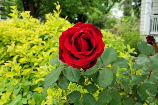 2016-03 - Rose