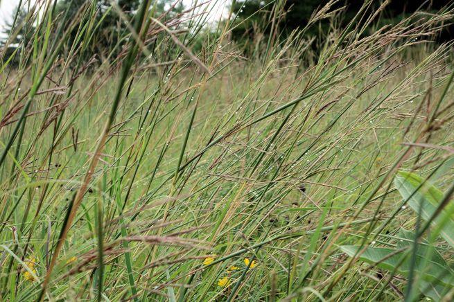 2016-08 - 39 - Prairie grass