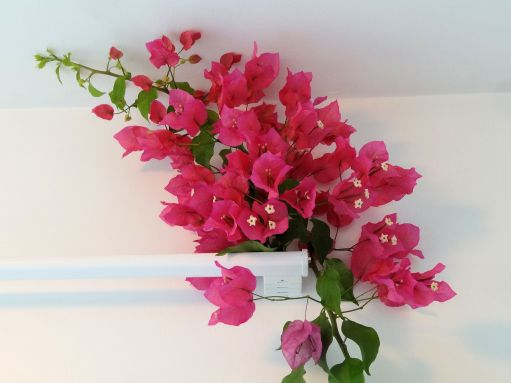 2015-06-33-bouginvilla-15-july