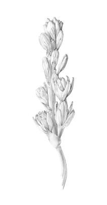 tube rose [gray]